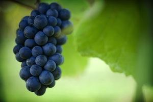 Pinot Noir in Neuseeland